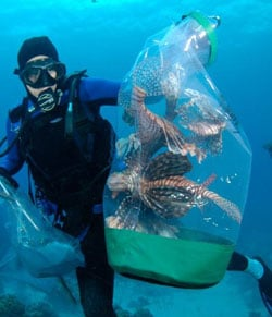 Lionfish Caught Underwater in the Florida Keys
