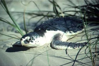 A Kemp's ridley sea turtle. Photo courtesy of Fish & Wildlife Commission
