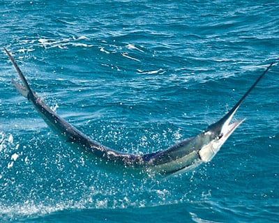 Sailfish Jumping out of the Water in the Lower Keys
