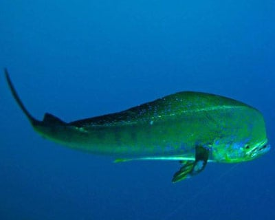 Mahi Mahi Under the Water in the Lower Keys