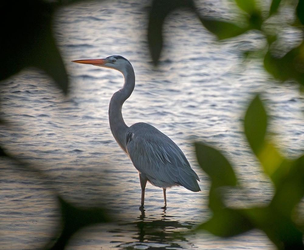 Blue heron Florida Keys