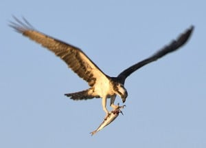 An osprey clutches a fish as it hovers above its nest atop a pole adjacent to the Florida Keys Overseas Highway. (Photo by Andy Newman, Florida Keys News Bureau)