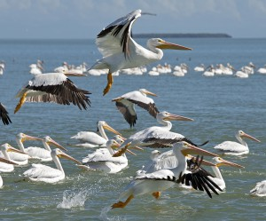 American white pelicans take flight in Everglades National Park about 25 miles northwest of Islamorada. (Andy Newman, Florida Keys News Bureau)