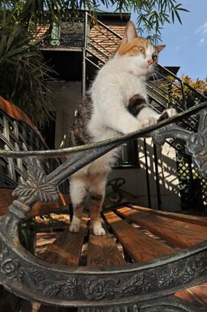 Hemingway cat Key West