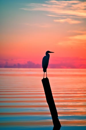 Great White Heron Florida Keys