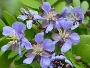 Lignumvitae flowers at Key West Tropical Forest & Botanical Garden