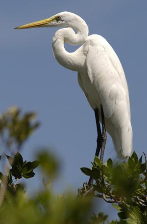 Great White Heron Key Largo Florida Keys