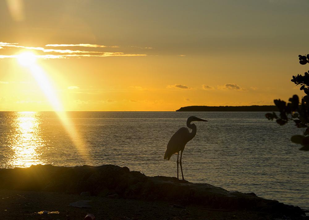 Florida Keys heron