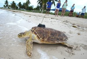 sea turtle release Florida Keys