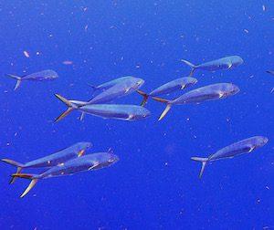 Dolphin fish Florida Keys