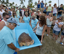 Turtle Miley release begins Islamorada