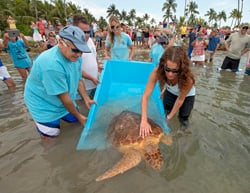Turtle Miley release in process Islamorada