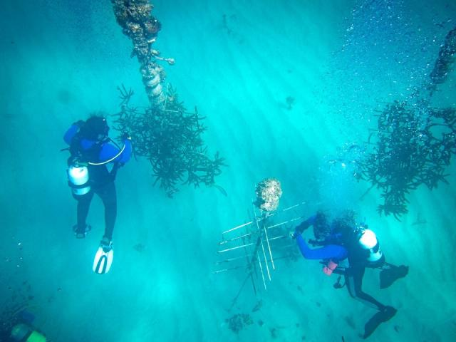 CRF volunteers clean and prepare corals in the nursery for planting.