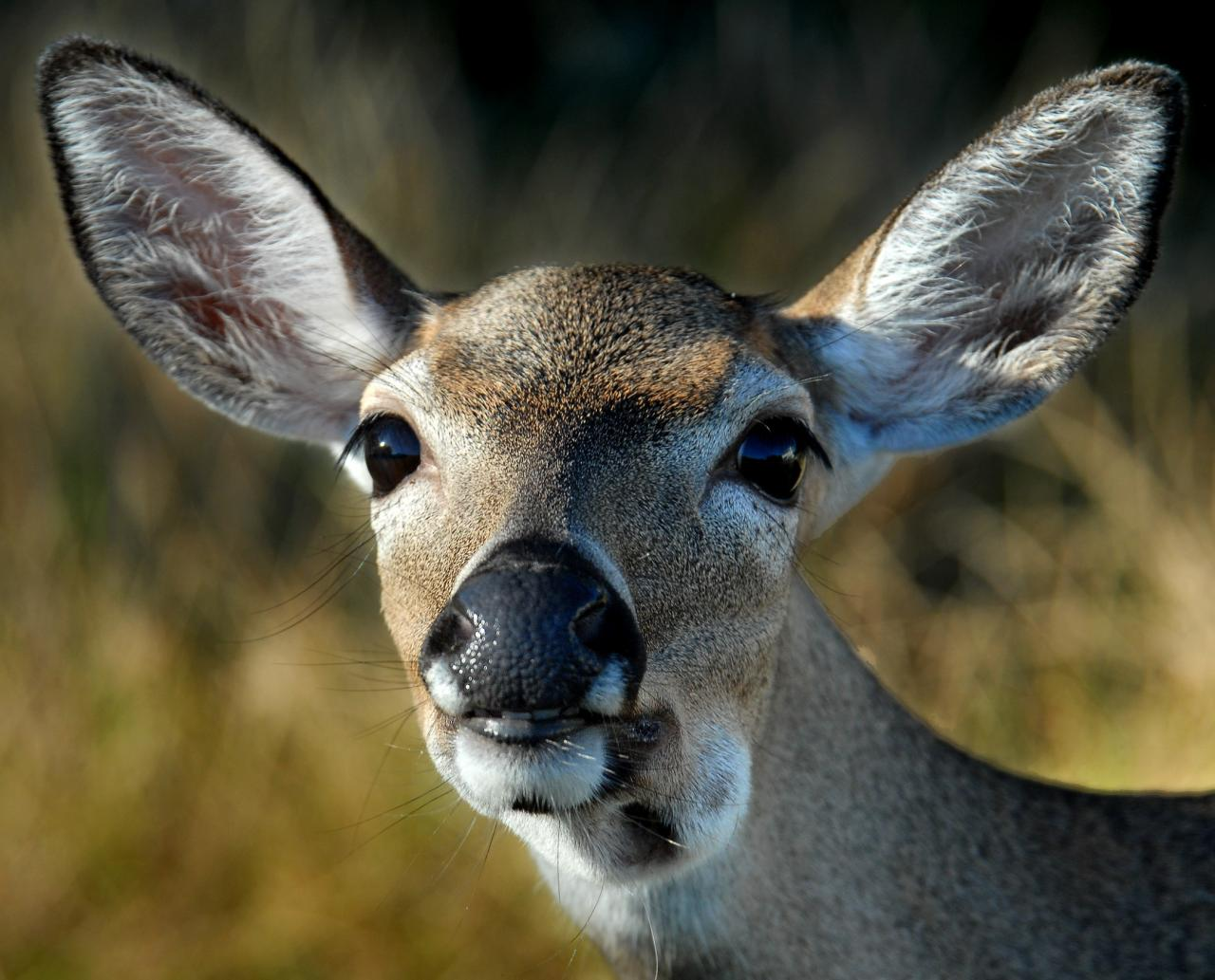 an analysis of the key deer in the florida keys