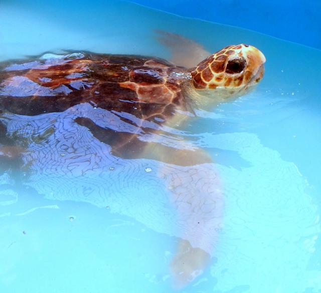 "Visitors can ""meet"" rescued sea turtles during behind-the-scenes tours of the planet's first state-licensed veterinary hospital specializing in the fascinating creatures"