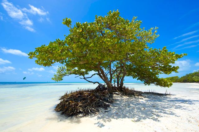 Mangroves at Anne's Beach, Islamorada_Credit Rob O'Neal