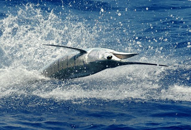 Gold Cup Series Continues With 30th Annual  Cheeca Lodge Presidential Sailfish Tournament