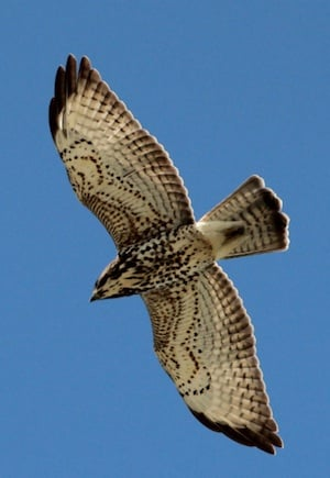A broad winged hawk is among several migratory birds in the Keys.