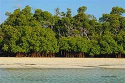 Mangrove forests in the Content Keys.