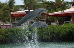 These two dolphins are part of the successful breeding consortium program through Dolphin Connection, at Hawk's Cay on Duck Key.