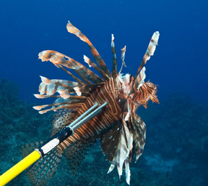 There is no season or size limit for lionfish.