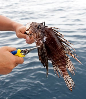 Venomous (not poisonous) spines are removed prior to preparing and cooking this tasty edible fish.
