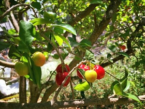 Tropical fruit trees, herbs, greens and ornamentals are grown at Grimal Grove.