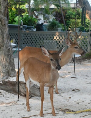 It's not just human guests that seem to enjoy Deer Run. The Lower Keys are home to a population of tiny, protected deer called Key deer.