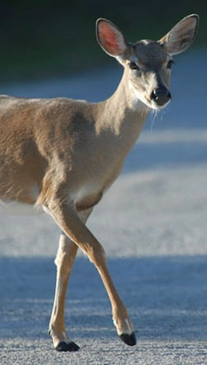 The tiny Key deer, about the size of a large dog, is indigenous to the Lower Keys. Photo: Andy Newman