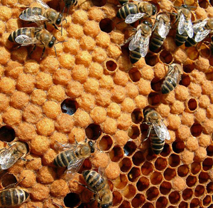Honeybees really do help the environment, according to David. Humans and bees can coexist harmoniously.