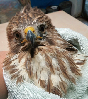 Marathon Wild Bird Center accepts all patients, like this young raptor, to rescue, rehabilitate and release back to their natural environment.