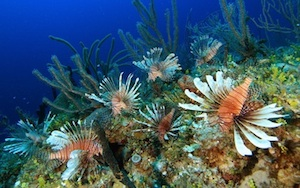 Lionfish are beautiful, yet voracious predators in Atlantic waters. Image: Rich Carey