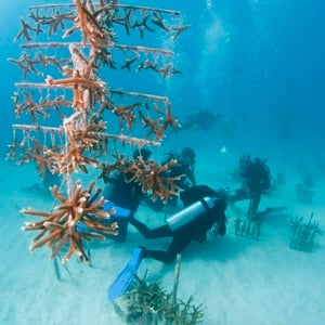 Endangered base-building corals include boulder, brain and star corals, and two branching species, staghorn and elkhorn, which can be propagated quickly to create new habitats.