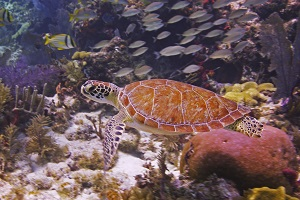 Turtle amidst the Keys' beautiful underwater jungle at John Pennekamp Coral Reef State Park. Credit Frazier Nivens