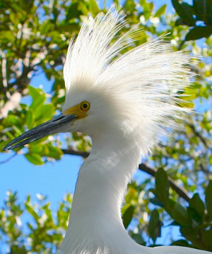 White herons are only found in the Florida Keys and on the South Florida mainland.