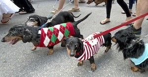 Image 1 - Many dogs typically wear offbeat costumes or accessories. Photos: Andy Newman