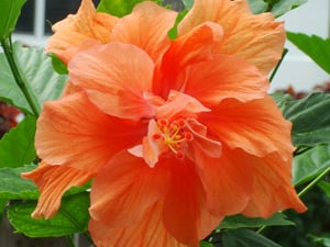 Hibiscus are found in nearly any yard and garden.  image: Carolan Ivey/Florida Keys Photo Adventure