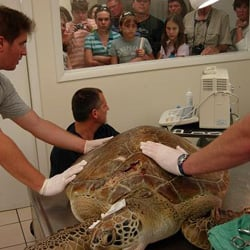 A Turtle Hospital staffer, right, shows visitors a female green sea turtle that underwent treatment for intestinal ailments.